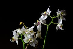 White orchid on a black background stock image