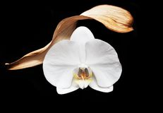 White orchid on black background royalty free stock images