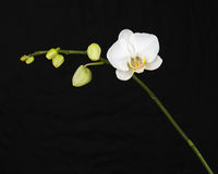 White orchid on black background. Stock Image