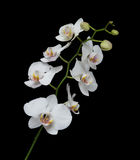 White Orchid on a black background Royalty Free Stock Photos