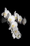 White orchid on black Stock Image