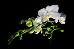 White Orchid black isolated Royalty Free Stock Images