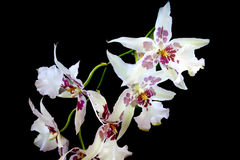 White orchid on black Stock Images