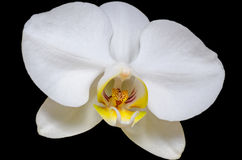 White Orchid on Black. A white orchid with a yellow and red stigmatic surface on a black background Stock Photos