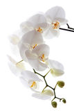 White orchid Stock Images