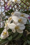 White Orchid is Blooming in the Cold Weather royalty free stock photo