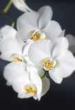 White orchid blooming Royalty Free Stock Photography