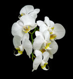 White orchid blooms. Close-up on a black background Royalty Free Stock Image
