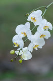 White orchid blooms Royalty Free Stock Photos