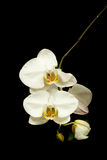 White orchid. Blooms with yellow centers on a single stem against a black background Royalty Free Stock Photos