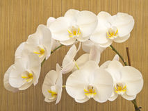 White Orchid Blossom Royalty Free Stock Photography