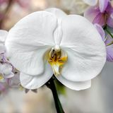 White orchid blossom Royalty Free Stock Photos