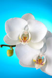 White orchid on blue background Royalty Free Stock Photos