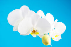 White orchid on blue background Royalty Free Stock Photo