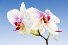 White Orchid  at a blue sky Stock Images