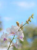 White orchid on blue sky background Royalty Free Stock Photography