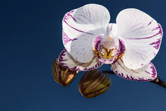 White orchid blue sky Royalty Free Stock Images