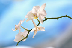 White orchid on blues Stock Image