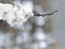 White orchid branch before winter-window. White orchid branch with buds before winter-window, snowfall Stock Photos