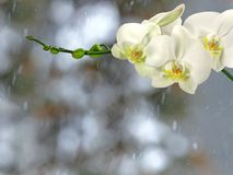 White orchid branch before winter-window. White orchid branch with buds before winter-window, snowfall Royalty Free Stock Image