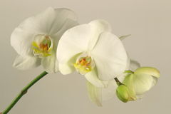 White orchid with a bud Royalty Free Stock Photo
