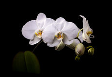 White orchid. With buds on a black background Royalty Free Stock Images