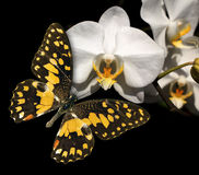 White orchid and butterfly Royalty Free Stock Images