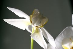 White orchid butterfly royalty free stock photos