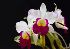White orchid,Cattleya. On black background stock images
