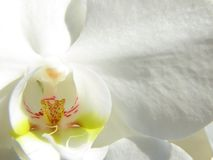 White orchid close up. Close up of a white orchid - symbol for peace, calmness, quietness, wellness etc Stock Photos
