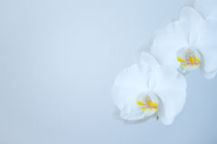 White Orchid Stock Photography