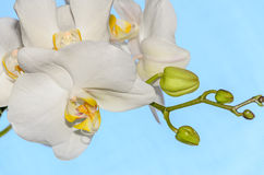 White orchid close up branch flowers,  blue background Stock Photos