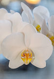 White orchid close up branch flowers, isolated on grey bokeh Stock Photography