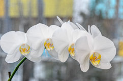 White orchid close up branch flowers, isolated on grey bokeh Royalty Free Stock Photos