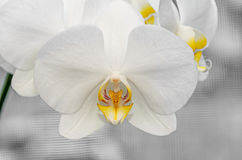 White orchid close up branch flowers, isolated on grey bokeh Stock Photos
