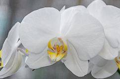 White orchid close up branch flowers, isolated Stock Photo