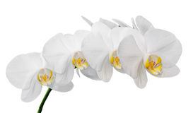 White orchid close up branch flowers, isolated on white background Royalty Free Stock Images