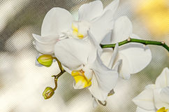 White orchid close up branch flowers, isolated window bokeh background Royalty Free Stock Photo