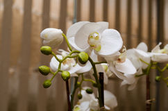 White orchid on close up with brown blurred background Royalty Free Stock Photos