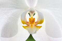 White Orchid. A closeup of a White Orchid flower Stock Photography