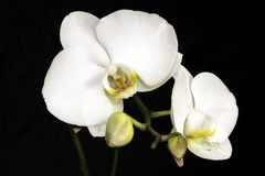 White Orchid closeup Royalty Free Stock Photo
