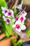 White orchid color blossom closeup Royalty Free Stock Image