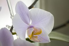 White Orchid with a colored middle on a light background royalty free stock photos
