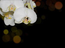White orchid with coloured bokeh corner Royalty Free Stock Images