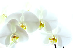 White orchid. White delicate orchid isolated on white background Royalty Free Stock Images