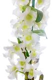 White orchid. Dendrobium nobile Royalty Free Stock Image