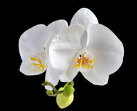 White orchid flower Royalty Free Stock Images