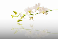 Free White Orchid Flower Stock Photo - 18274450
