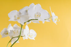 White orchid flower Stock Photography