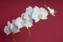 White orchid flower Royalty Free Stock Image